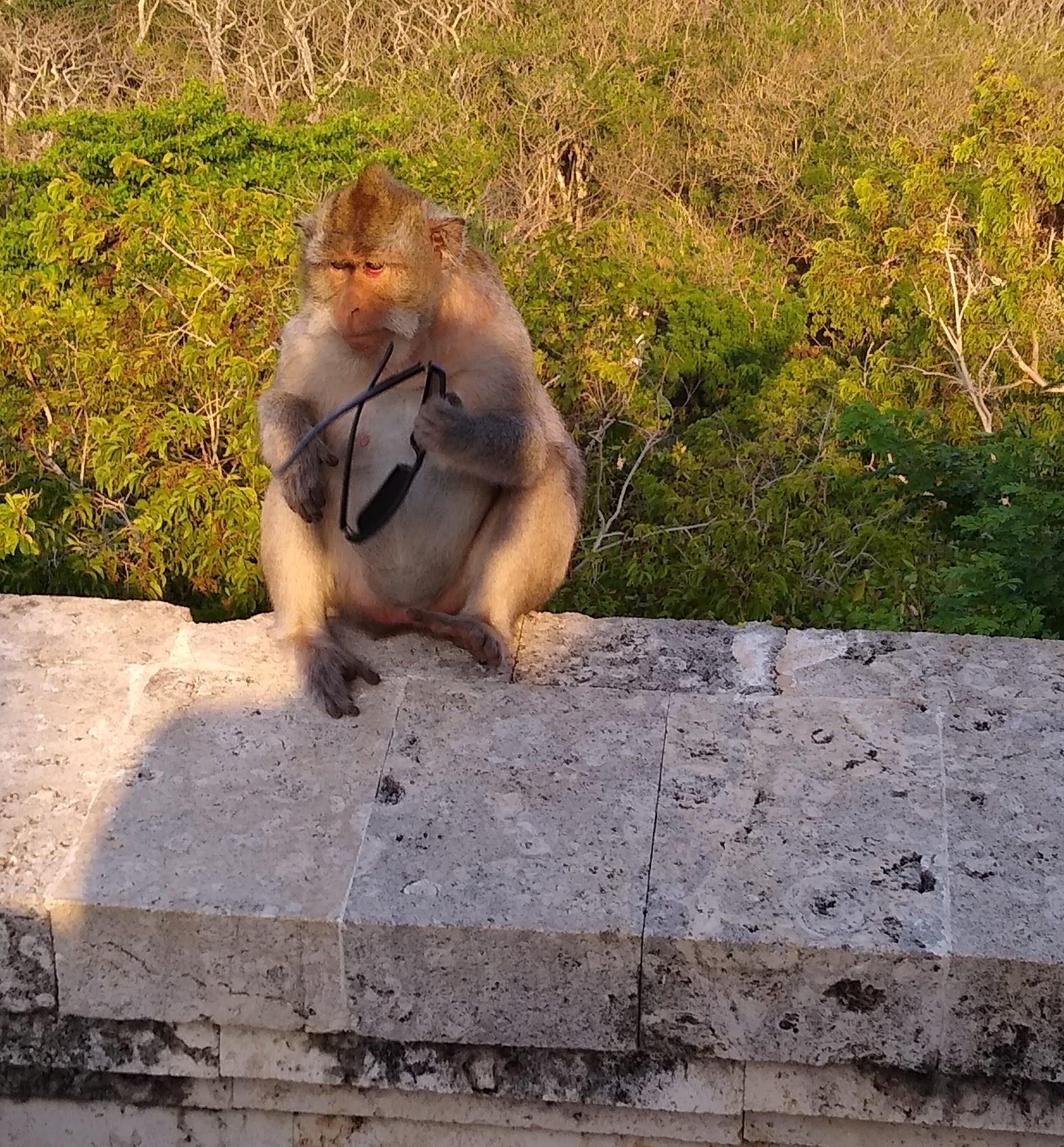Uluwatu_monkey_2_-_stolen_sunglasses